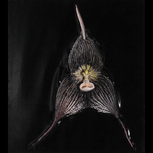Paweł Matyszewski, Dracula orchid 4 - Czarna Madonna